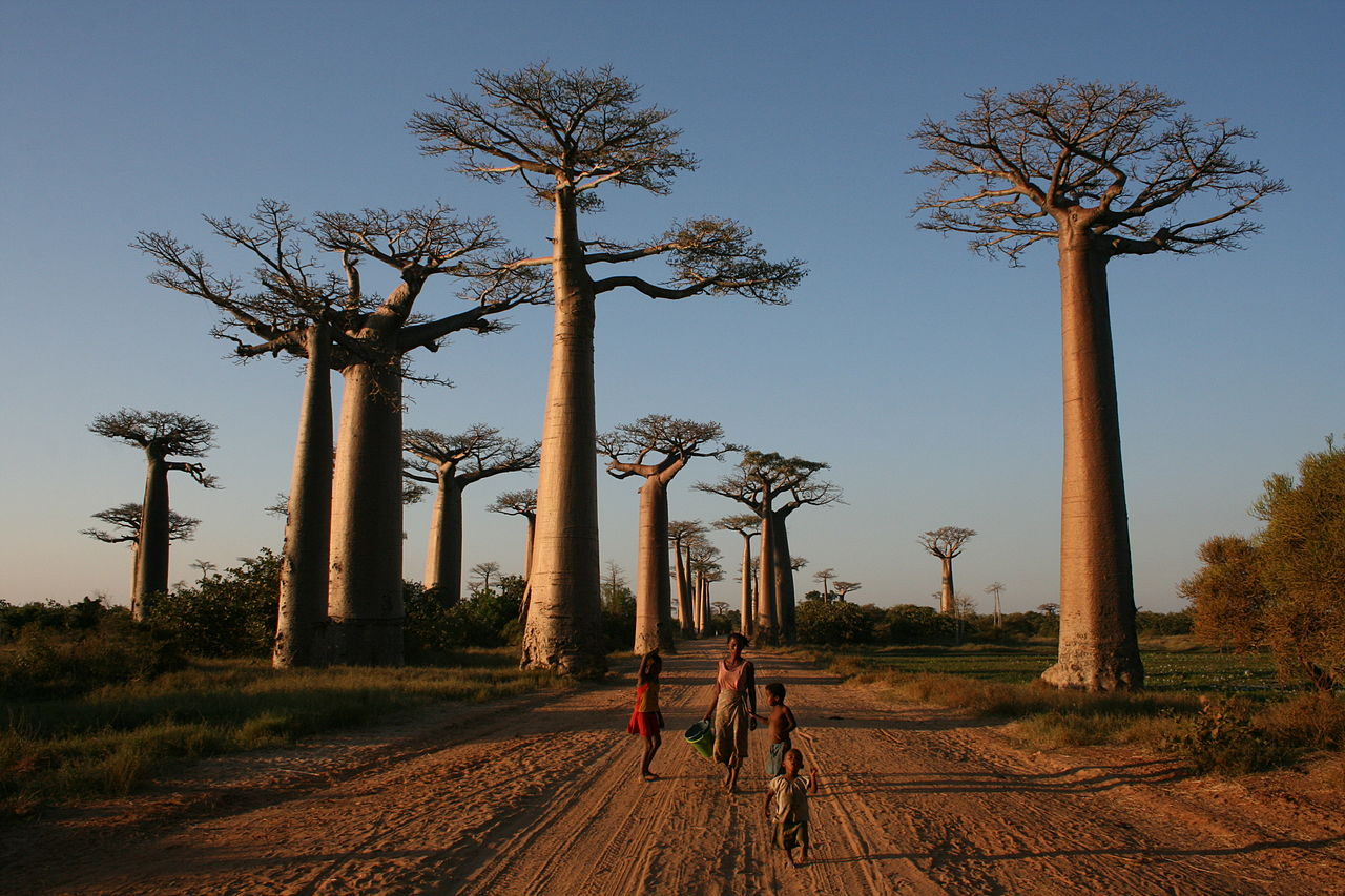 Avenue_of_the_Baobabs