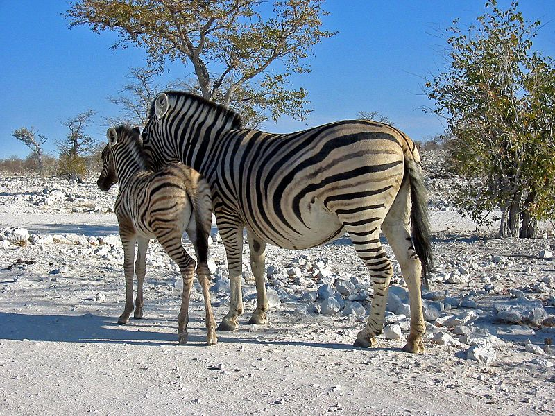 Steppenzebra im Etosha Nationalpark (c) Thomas Schoch